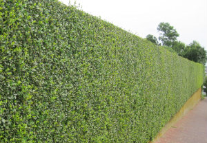 hedge-cutting-maintenance-muswell-hill